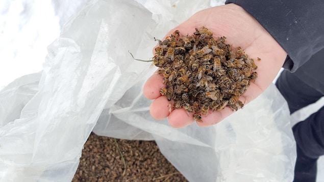 Des pertes d'abeilles importantes sont recensées, notamment au Centre-du-Québec.