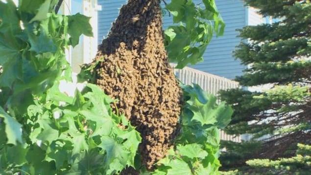 Une énorme nuée d'abeilles.