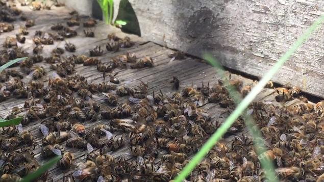Les apiculteurs de MartinGill Bees, à Saint-Anicet en Montérégie, ont constaté de nombreux décès d'abeilles ce printemps. Ils accusent les pesticides néonicotinoïdes. Des tests en laboratoire devront le prouver.