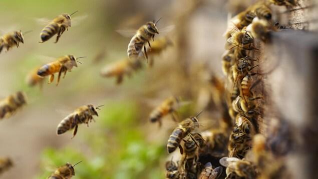 Des abeilles arrivent à la ruche.