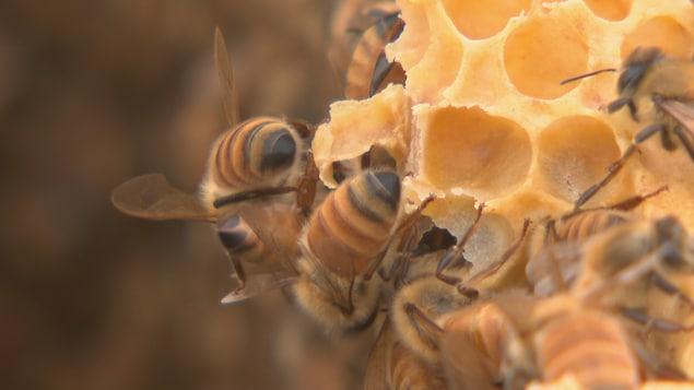 Des abeilles d'une des ruches du RTC