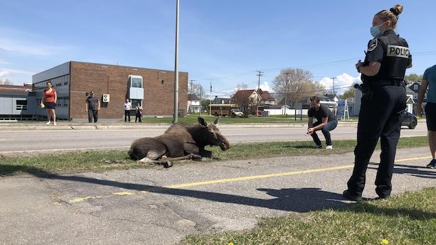 Un orignal blessé est entouré par des curieux et par une policière.