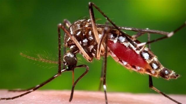 Un moustique Aedes aegypti