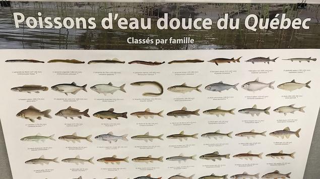 Affiche présentant les différentes familles des poissons d'eau douce retrouvés au Québec.