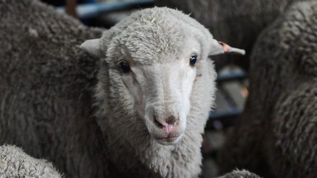 Un agneau mérinos né en 2018 à partir de sperme congelé il y a 50 ans.
