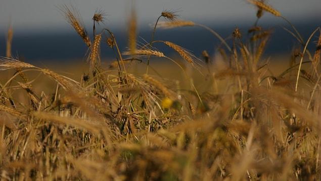 Champ de blé, des épis
