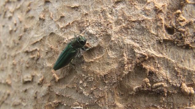 L'agrile du frêne est un insecte particulièrement dévastateur.