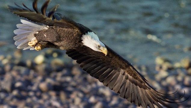 Un aigle à tête blanche en plein vol.
