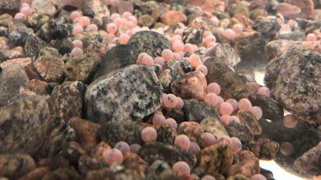 Des oeufs de saumons.