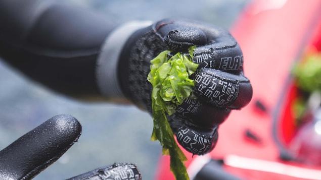 Algues gaspésiennes