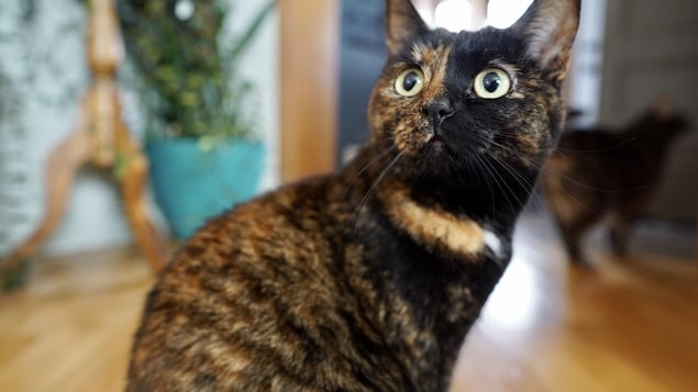 Une chatte trois couleurs.