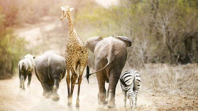Une girafe, un éléphant, un zèbre et d'autres animaux marchent dans la savane.
