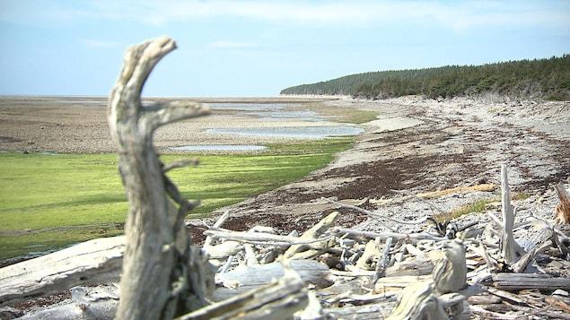 Le littoral de l'île d'Anticosti est jonché de bois rejeté par la marée.