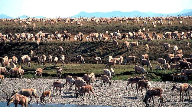 Un troupeau de caribous à proximité d'un point d'eau.