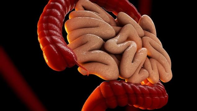 Illustration du système digestif.