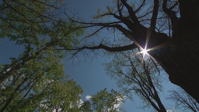 Des arbres de Québec décimés par la chenille spongieuse.