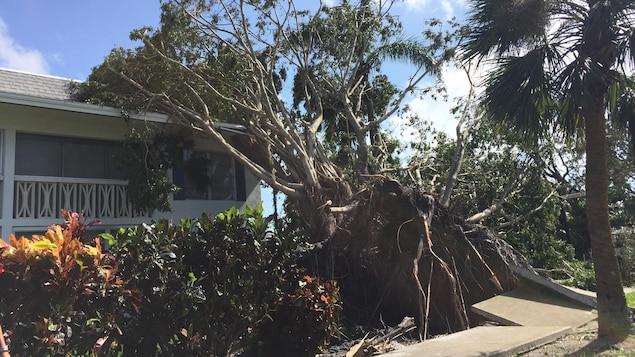 Un arbre déraciné, à Naples.