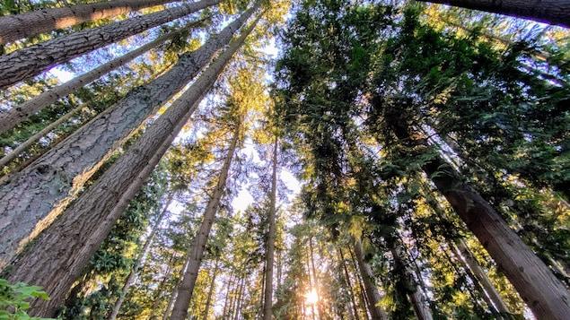 Des arbres dans la forêt proche de l'Université de Colombie-Britannique.