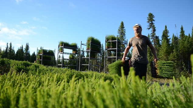 Planteur d'arbres qui s'avance, petits plants de conifères entre les mains.