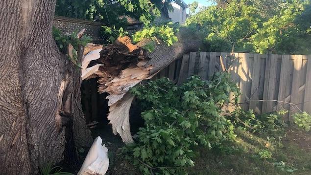 Photo d'une énorme branche d'arbre qui s'est détachée du tronc, s'appuyant sur une clôture