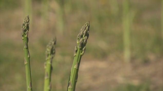 Des asperges dans un champ.