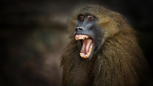 Gros plan du visage d'un babouin de Guinée.