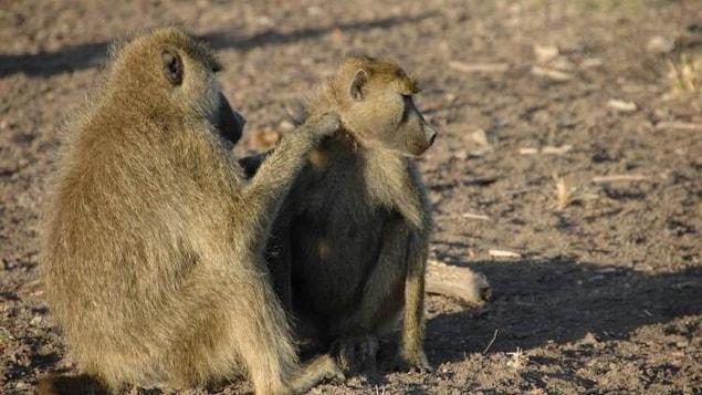 Un mâle et une femelle babouins s'épouillent dans le parc national d'Amboseli au Kenya.