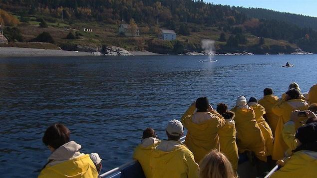 Des croisiéristes apprécient la forte présence des baleines dans la baie de Gaspé. forillon rorqual