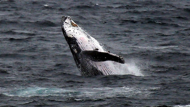 Une baleine à bosse émergent de l'eau.