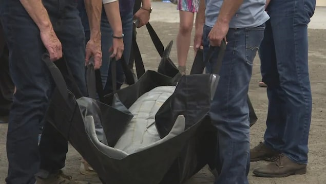 Une fausse baleine est dans une civière. Plusieurs étudiants tiennent une courroie pour la transporter.