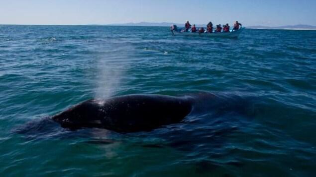 Des gens sur un petit bateau observent une baleine grise en mer Méditerranée.