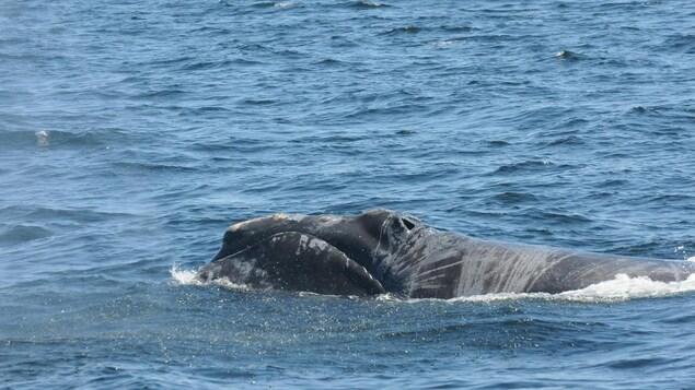 Une baleine noire blessée à la surface de l'océan