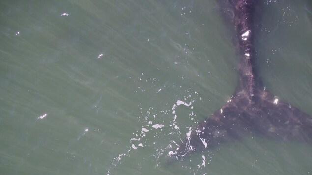 Queue de la femelle de baleine noire Punctuation