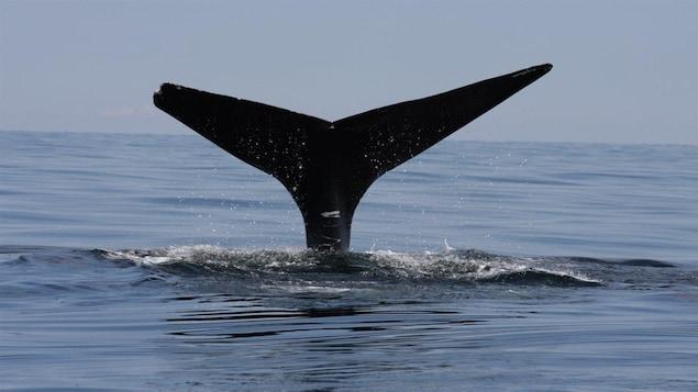 La queue d'une baleine noire en plongée.