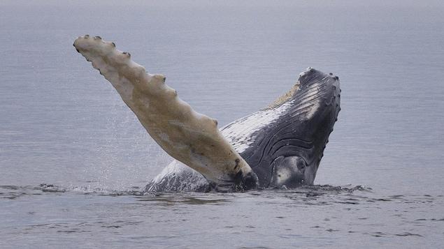 Une baleine nageant, la tête et une nageoire hors de l'eau.  Photo prise sur le fleuve Saint-Laurent a proximité de Tadoussac,  Québec, Canada  Sur la photo: Plusieurs baleines ont fait tout un spectacle pour les nombreux amateurs de baleines. Le rorqual commun, Tic TacToe, et son baleineau Corona  Le 27 Juillet 2020 2020/07/27