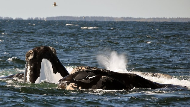 Des baleines noires de l'Atlantique Nord.