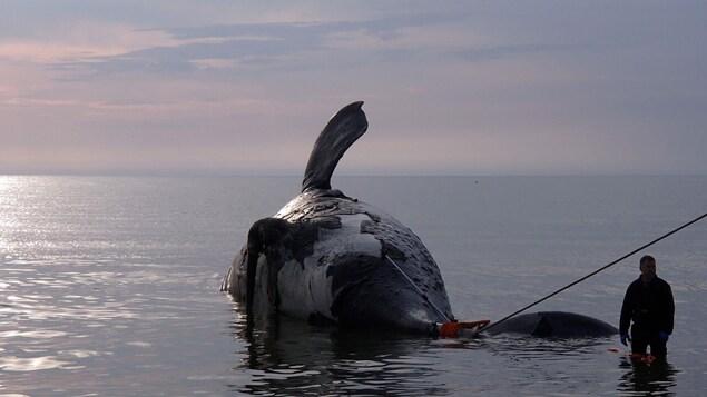 Une baleine noire morte dans le golfe du Saint-Laurent.