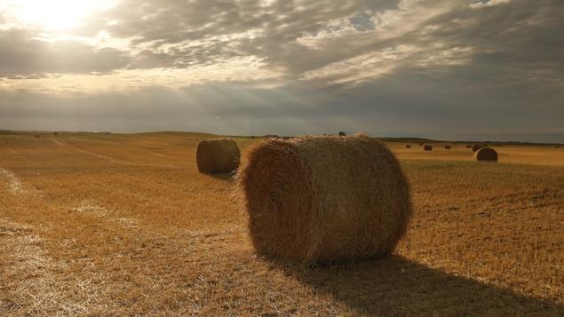Des ballots de foin dans un champ de la Saskatchewan lors de la sécheresse de 2021.