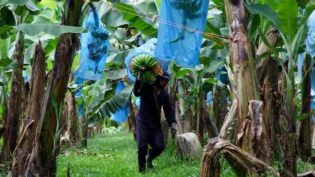 Un homme marchant entre les rangs de bananiers transporte sur son épaule un régime de bananes destiné à la vente.