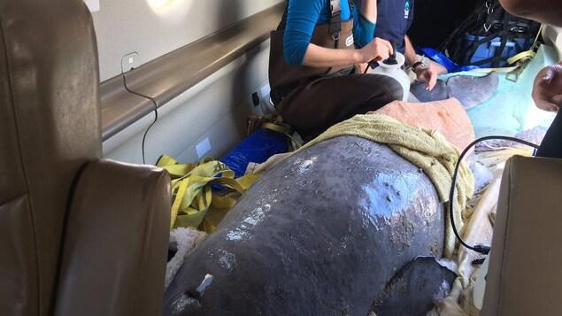 Le béluga trouvé dans la rivière Nepisiguit au Nouveau-Brunswick a été transporté par avion jusqu'à Rivière-du-Loup.
