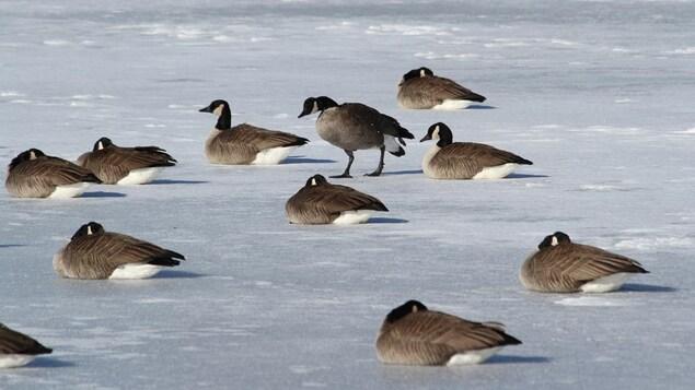 Des bernaches qui dorment sur la glace l'hiver.
