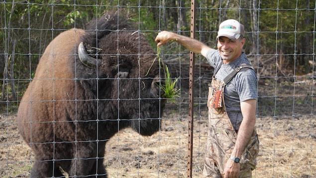 Un homme nourrit un bison.
