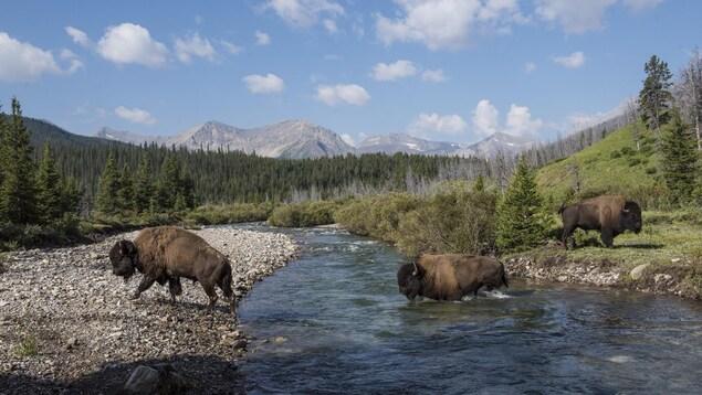 Trois bisons adultes traversent une rivière.