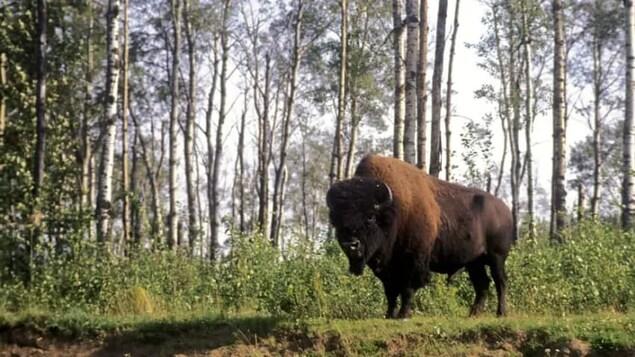 Un bison est debout près d'une forêt