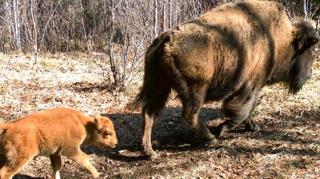 Un bébé bison suit un bison adulte dans le parc national Banff.