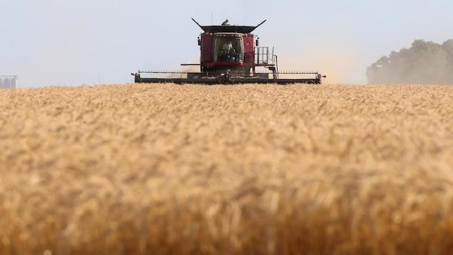 Une moissonneuse-batteuse récolte du blé.