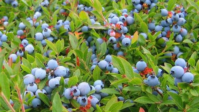 Des plants chargés de bleuets