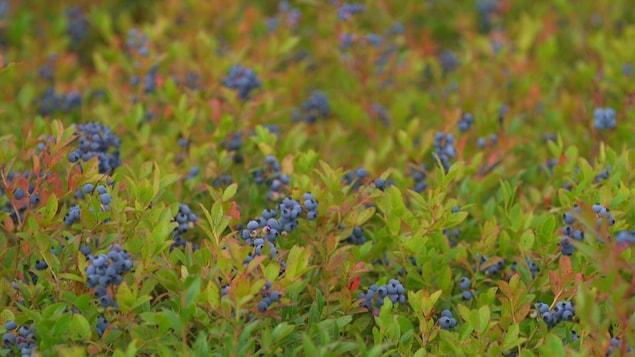 Des plants de bleuets.
