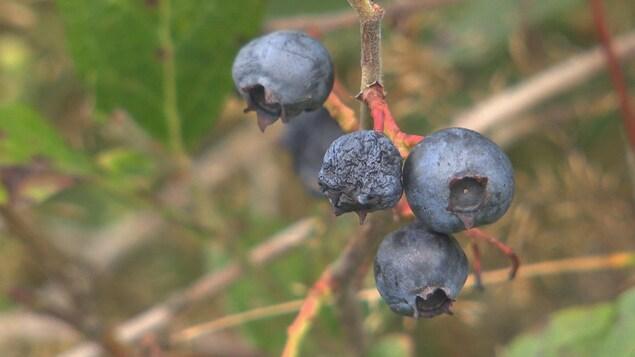 Un bleuet fripé sur une branche.
