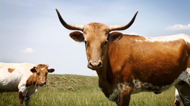 Deux vaches cornues dans un pâturage.
